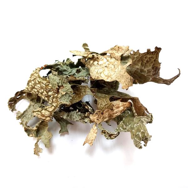 Lichen: Lobaria pulmonaria - 2.5 oz | Natural Dyes